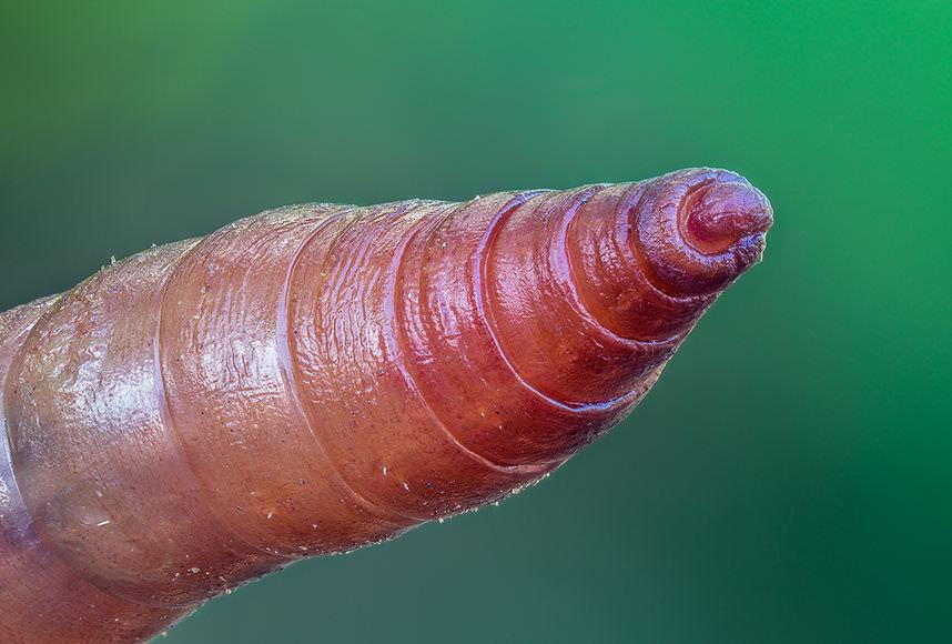 Lumbricina - дождевой червь